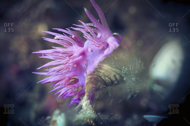 Pink flabellina, Adriatic Sea, Dalmatia, Croatia