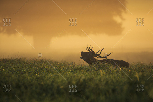 Stag In Field At Dawn
