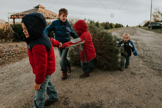 Kids dragging a tree  on a tree farm at Christmas