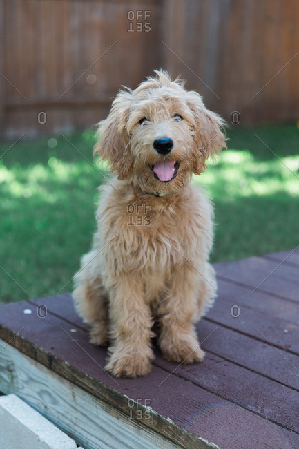 Goldendoodle sitting outdoors on deck