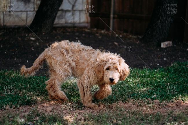 Fluffy Goldendoodle walking in backyard