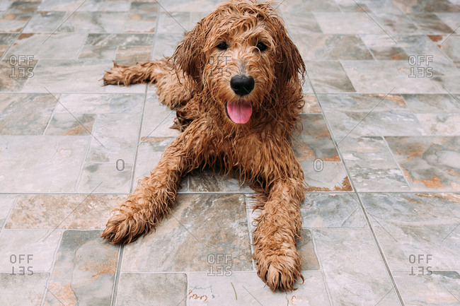 Wet Goldendoodle dog