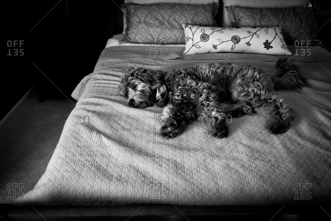 Goldendoodle sleeping on bed in black and white