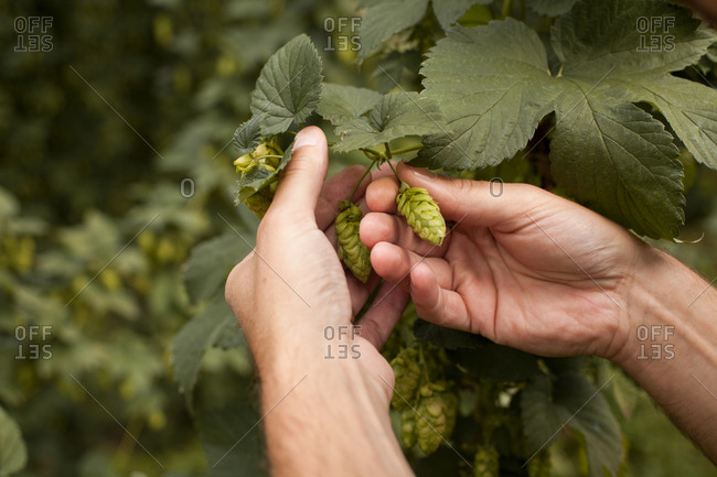 Hands holding hop flowers on a hops plant
