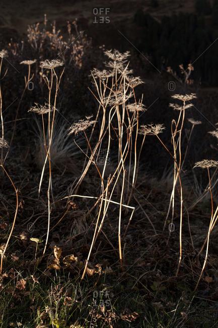 Dead flowers in Swiss landscape