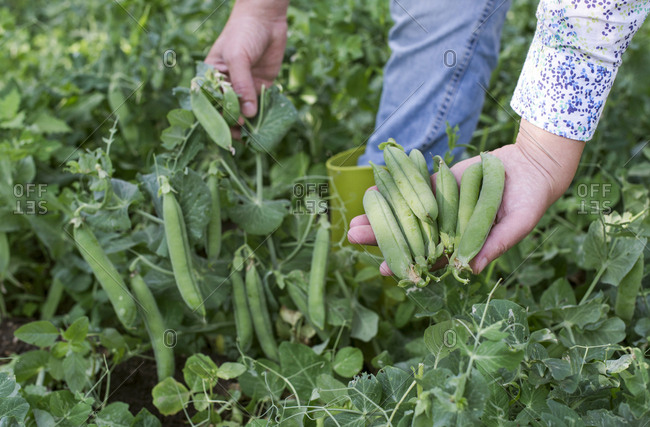 Woman's hand picking peas- close-up