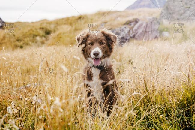 Happy Border Collie in beautiful landscape