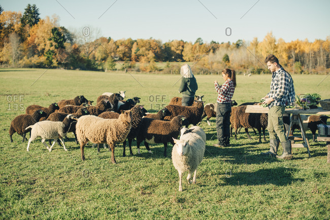 Multi-ethnic male and female farmers with herd of sheep on field