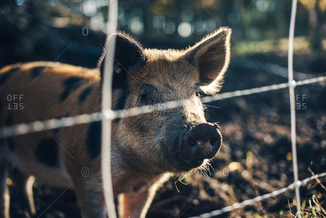 Pig standing in animal pen at organic farm