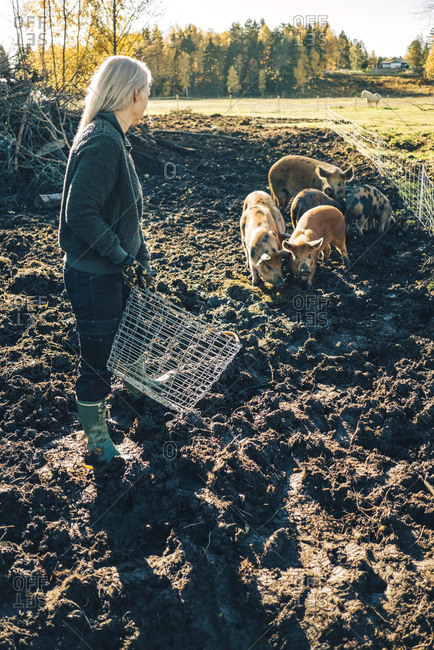 Full length of mature female farmer with basket looking at pigs grazing on organic farm