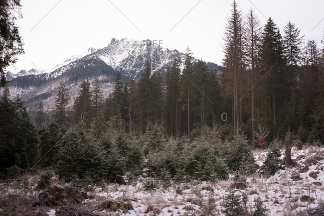 Beautiful snowcapped and pine trees during winter