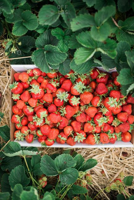 Fresh picked strawberries in the garden