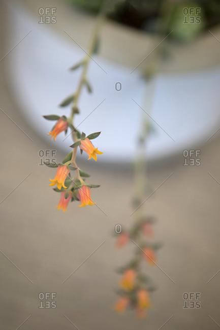 Trailing houseplant flowers