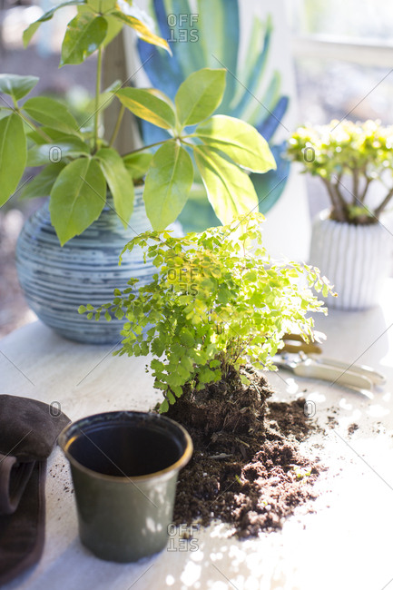 Exposed repotted plant on sunny table