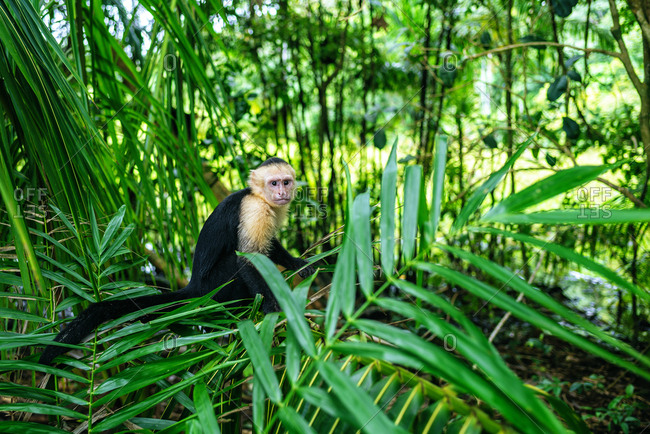 White-headed capuchin monkey sitting in the forest in the Manuel Antonio National Park, Costa Rica