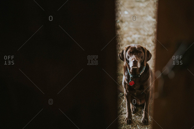 Chocolate lab looking through a door
