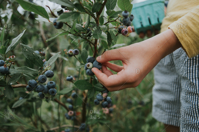 Close up of a girl picking blueberries from a bush