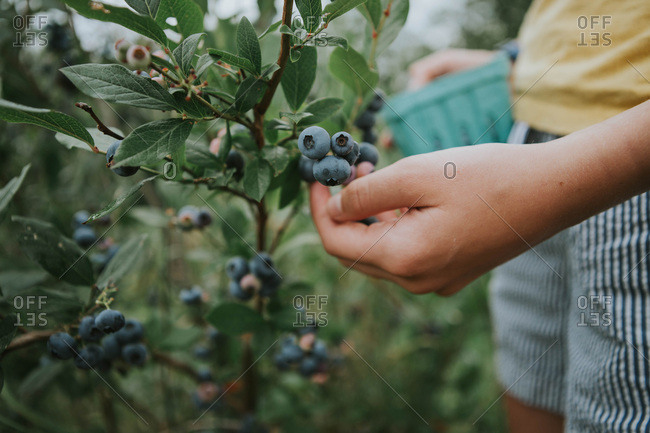 Close up of a girl picking blueberries