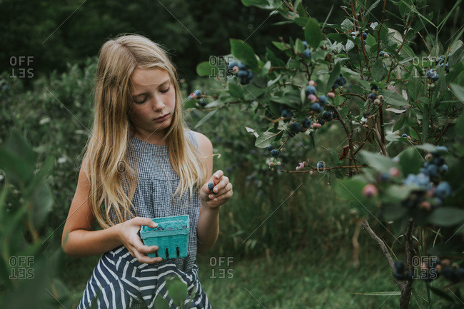 Young girl picking blueberries in an orchard