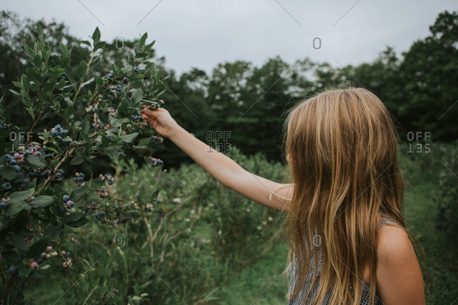 Young girl picking blueberries from a bush