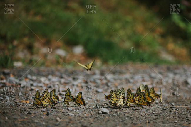 A group of eastern tiger swallowtail butterflies