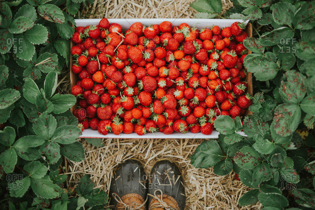 A batch of fresh picked strawberries