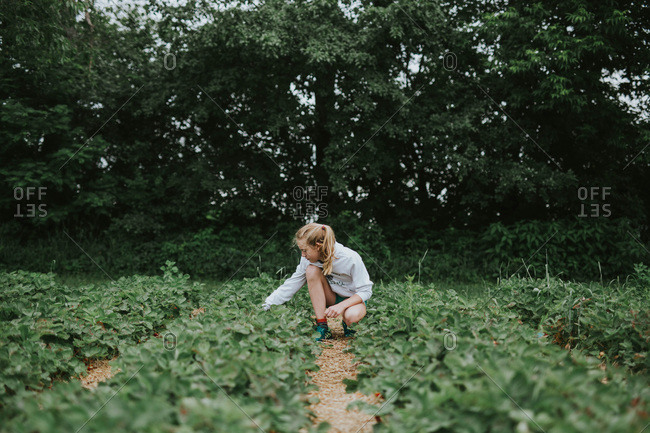 A girl picking strawberries