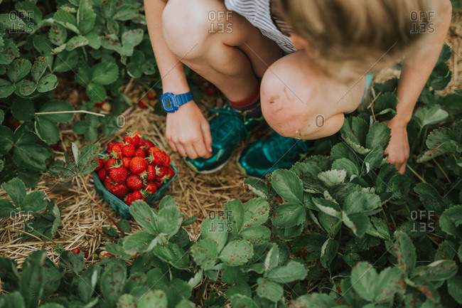 Overhead view of a girl picking strawberries