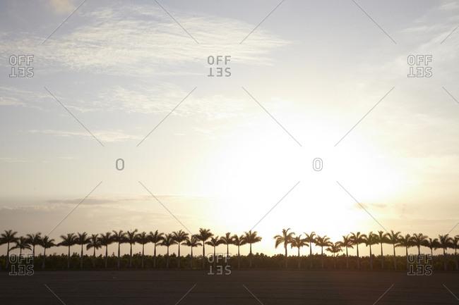 Row of desert palm trees at sunset