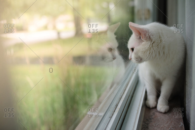 White cat looking out window