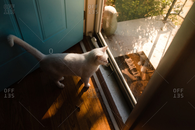 Overhead view of a white cat looking out glass door