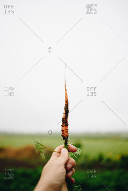 Hand holding fresh picked carrot