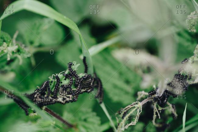 Caterpillars eating plant