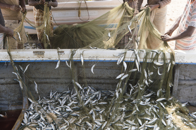 Negombo, Sri Lanka - January 5, 2018: Fishermen sorting manually caught fish