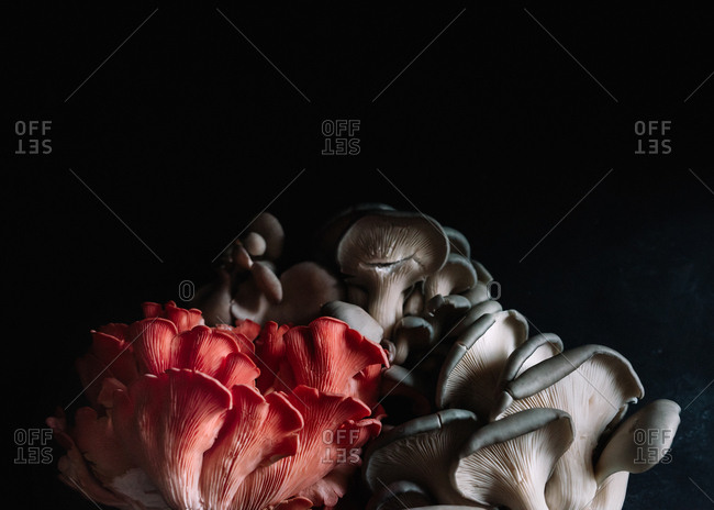 Cluster of Pink and Black Oyster Mushrooms