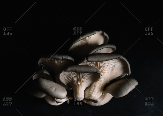 Cluster of Black Oyster Mushrooms