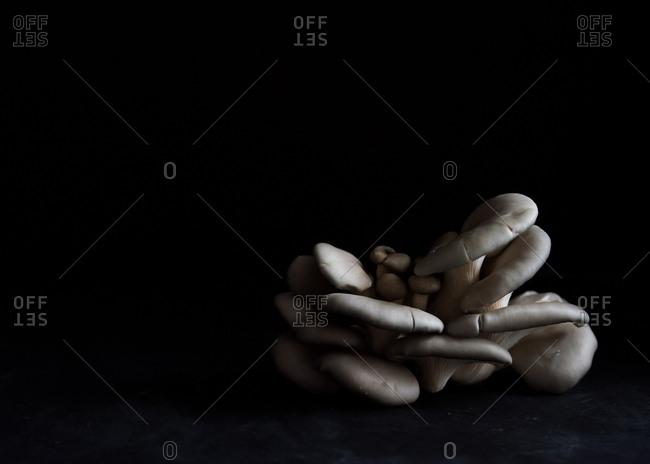 Still life of cluster of Oyster Mushrooms