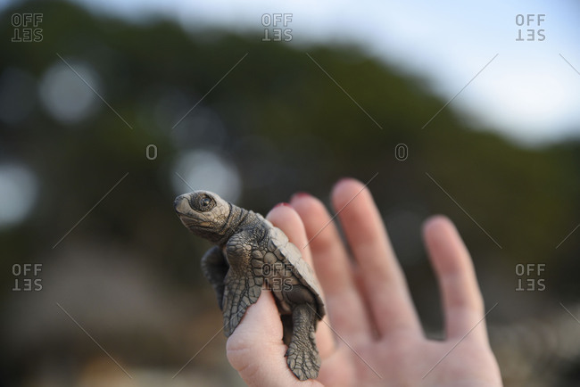 Tiny sea turtle resting on human thumb
