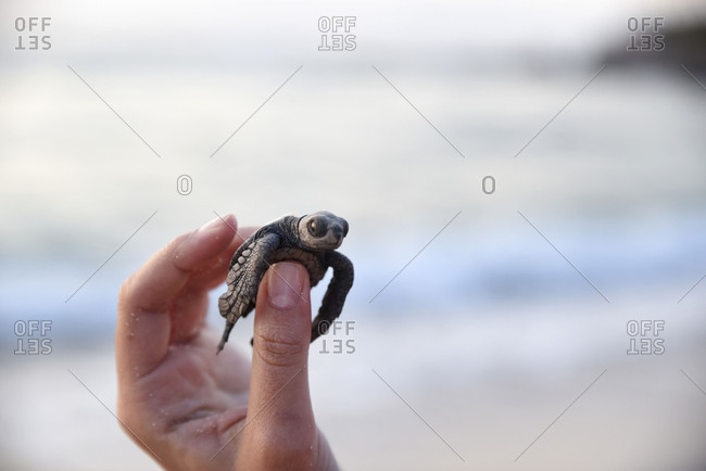 Human helping baby hatchling sea turtle
