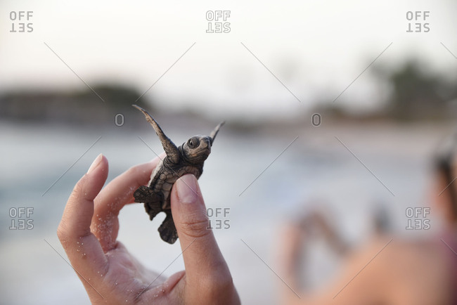 Miniature turtle stretching out in humans hand