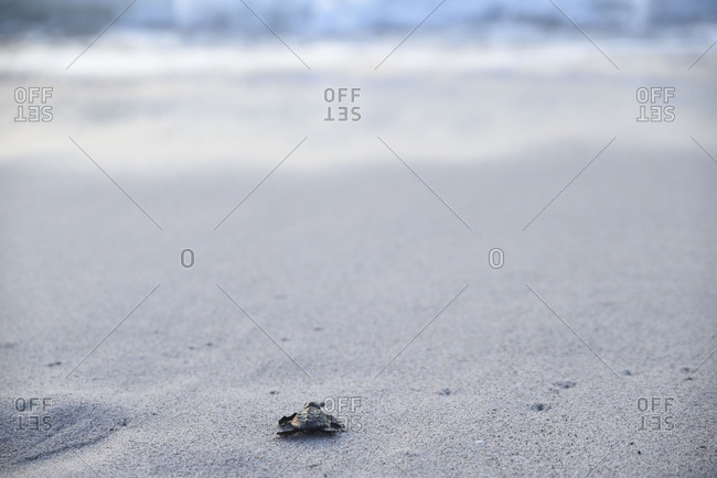 Tiny sea turtle slowly crawling to ocean