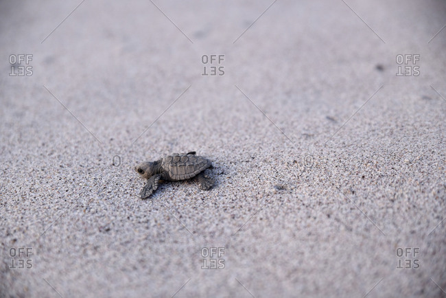 Baby turtle traveling toward water across beach