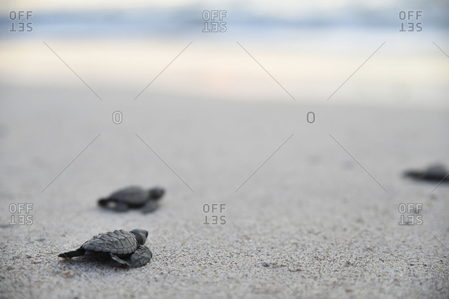 Baby turtle clan on the way to the water