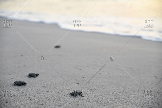 Group of little turtles journeying to the seashore