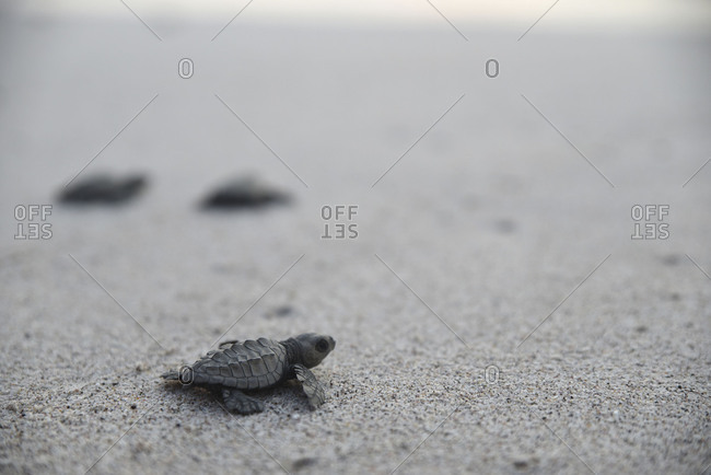 Little turtle lagging behind on the beach
