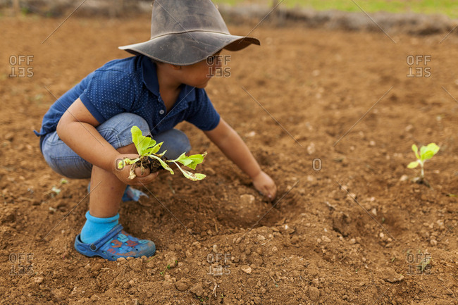 Young boy helping plant lettuce seedlings