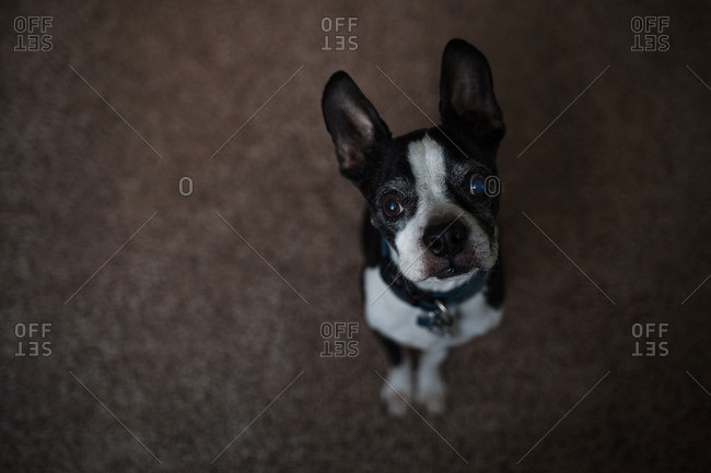 Boston Terrier sitting