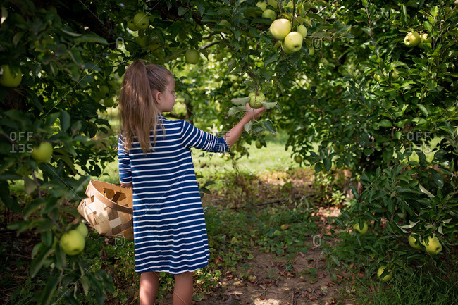 Little girl in striped dress picking green apples