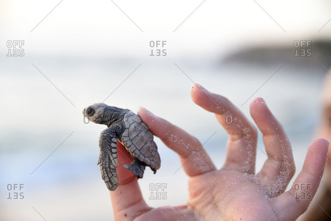 Rescued baby turtle at the beach