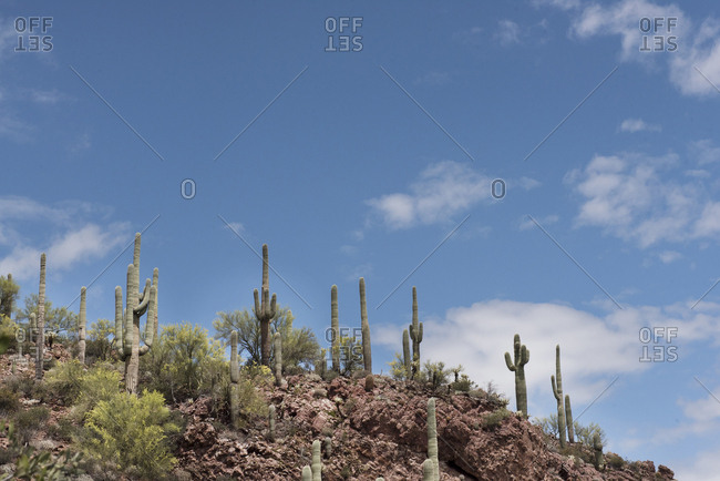 Many cacti on a hill